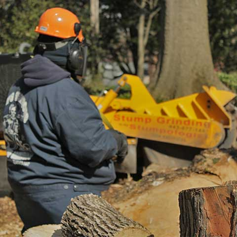 Large maple wood logs are in sharp focus in the foreground while a machine operator operating a stump grinder is in soft focus in the background