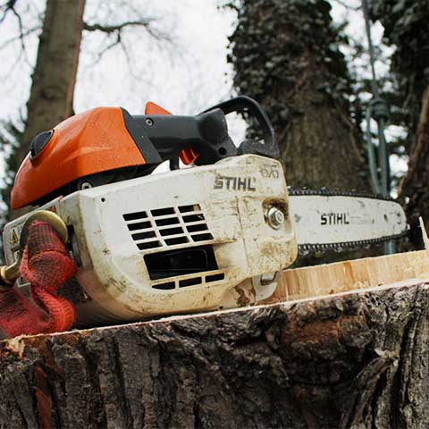A STIHL chainsaw is perched on top of a fallen maple tree stump