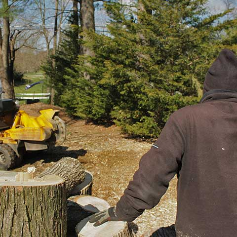 A Sams Services crew member stands next to maple tree logs and keeps a visual on the stump grinder approaching the location of the maple tree stump