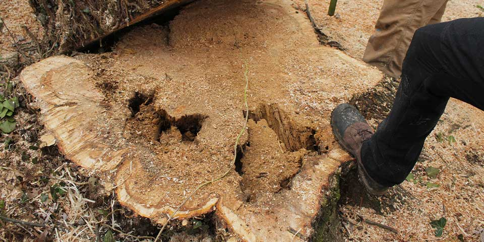 Elm Tree Stump Removal in Howard County, Maryland
