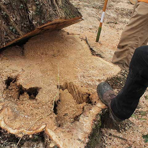 Stump Grinding & Root Removal Section Thumbnail